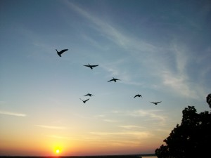 Birds over the Mississippi River